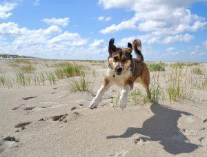 Hond loslopen strand Terschelling - Hallo Terschelling