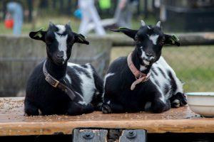 geiten aaien en voeren bij het Hooivak Hallo Terschelling