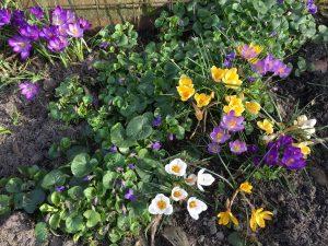 lentebloemen op Terschelling - Hallo Terschelling